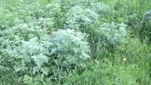 Pelin planta vindecatoare