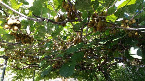 Brella pergola acoperita cu kiwi
